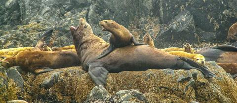 Help UBC's Marine Mammal Research Unit learn more about sea lions and other marine mammals